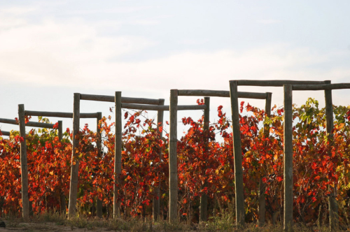 11.viñas-muga