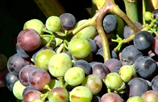 Video about veraison and harvest in green